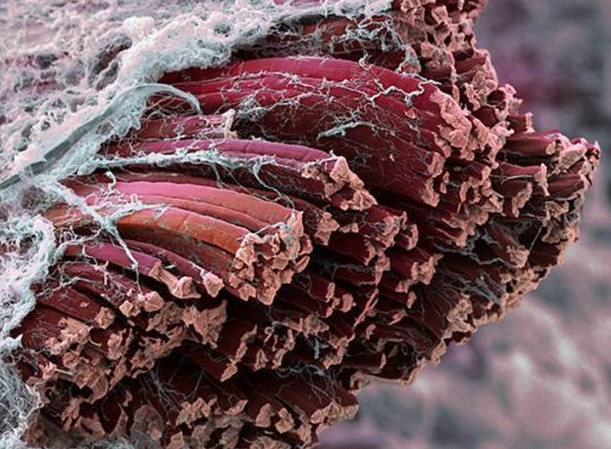 how to know what type of muscle fiber you have